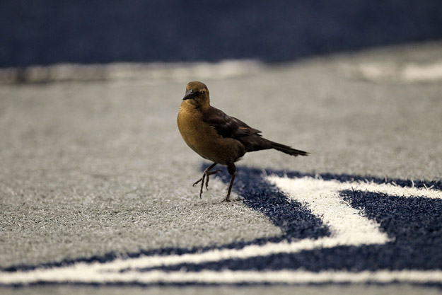 ARLINGTON, TX - OCTOBER 31:  A bird walks on the logo of the Dallas Cowboys star in the endzone against the Jacksonville Jaguars at Cowboys Stadium on October 31, 2010 in Arlington, Texas.